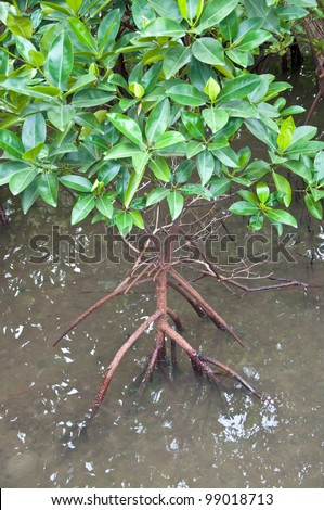 mangrove tree at the mangrove forest