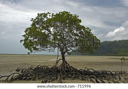Mangrove tree during low tide at Cape Tribulation outside Cairns in Australia