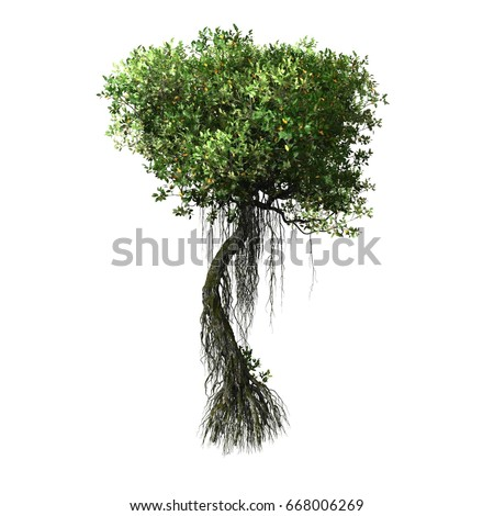 mangrove tree in white background