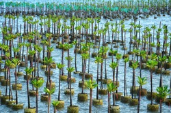Mangrove Tree of Mangrove Forest. Seedlings grown on the coast Planted to take care of the coast Small trees of mangrove trees are growing. At Samsarn Island, Chonburi.Thailand.