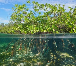 Mangrove tree over and under water surface, green foliage above waterline and roots with marine life underwater, Caribbean sea