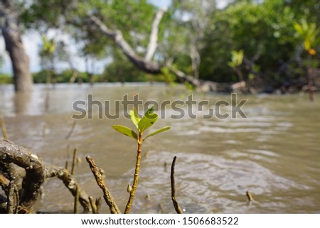 Mangrove tree shoots grow between the roots of the parent. This tree thrives along the coastline and prevents coastline erosion #1506683522