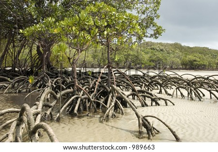 Mangrove tree standing in sand at Cape Tribulation in Australia