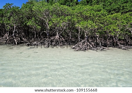 Mangrove trees by the white sand beach