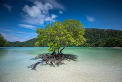 Mangrove trees grow alone on the beach.