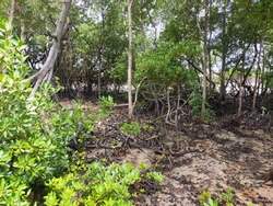 Mangrove trees grow naturally on muddy and swamp shores. This plant can help the beach from becoming eroded by waves.