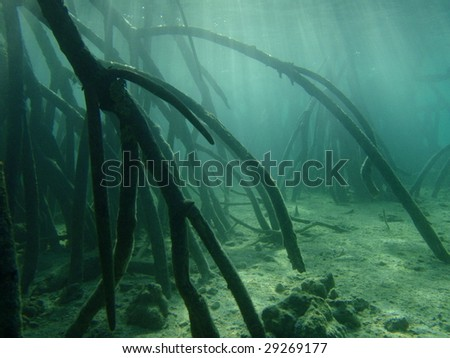 Mangrove trees - Pacific Ocean, Philippines