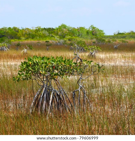 Mangroves in a parched landscape of Everglades National Park in the dry season