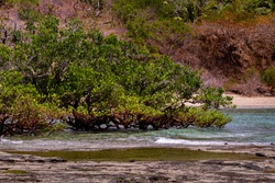 Mangroves in Mayotte, grows on the ocean coast.