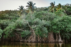 Mangroves in the river with palm trees on the Rincon beach, Samana, Dominican Republic