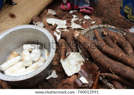 Manioc, also known as cassava, is a woody shrub native to South America that is extensively cultivated in tropical countries for its edible starchy tuberous root, a major source of carbohydrates. #740013991