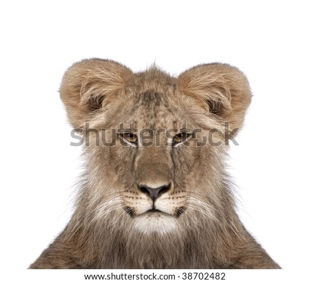 manipulated image of a immature lion in front of white background, studio shot - stock photo