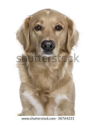 manipulated image of a Nova Scotia Duck Tolling Retriever, 5 years old, in front of white background, studio shot