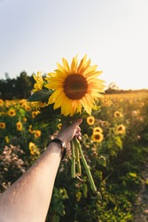 Mans hand holding handpicked sunflower bouquet