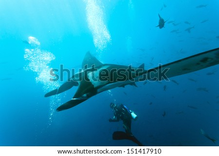 Manta and diver on the blue background