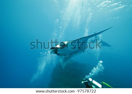 Manta and diver on the reef