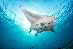 Manta in the blue background while diving maldives