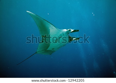manta (manta birostris) - stock photo