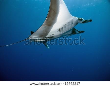 manta (manta birostris)