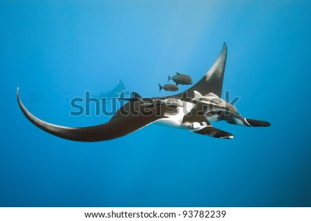Manta on the blue background