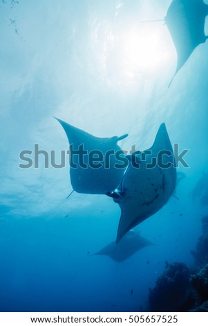 Manta ray #505657525