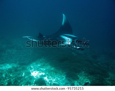 Manta Ray at Koh Bon, Thailand