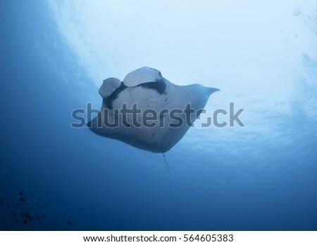 manta ray at raja ampat #564605383
