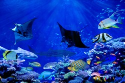 Manta ray dancing with tropical marine fish such as whale shark and anglefish in beautiful coral reef