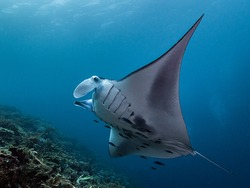 Manta Ray feeding in the current