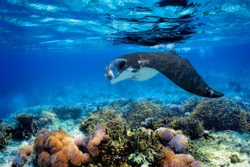 Manta ray filter feeding above a coral reef in the blue Komodo waters