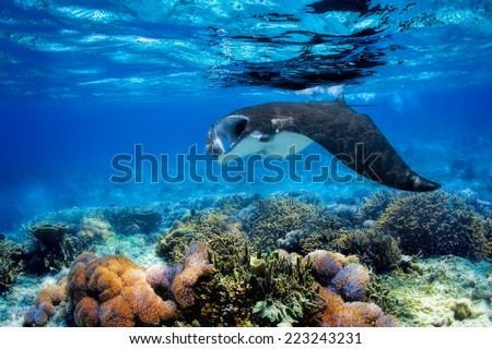 Manta ray filter feeding above a coral reef in the blue Komodo waters Foto stock ©
