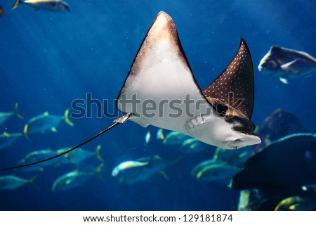 Shutterstock Manta ray floating underwater among other fish