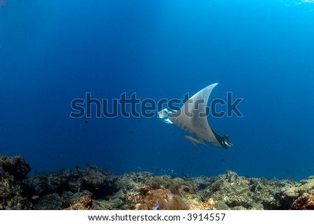 manta ray flying over reef