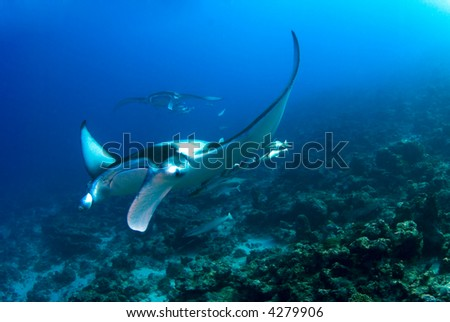 Manta ray flying over the reef