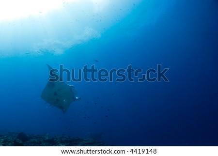 Manta ray flying under the sun