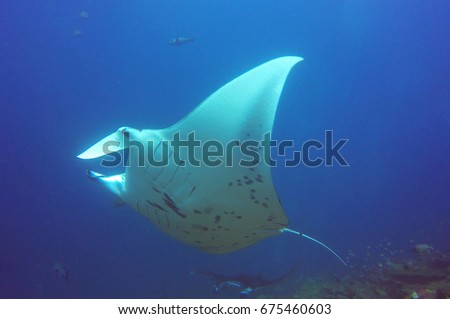 Manta ray in profile  #675460603