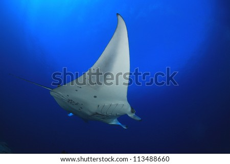 Manta ray in the blue water of the ocean #113488660