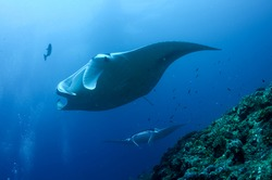 Manta Ray is  the largest type of ray in the world