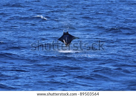 Manta ray jumping out of the Pacific ocean