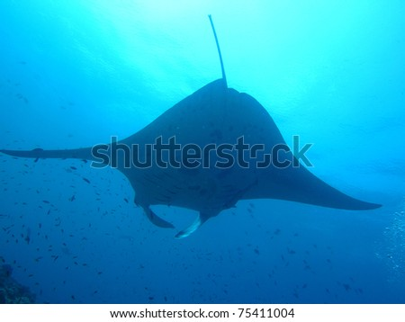 Manta ray - Maldive
