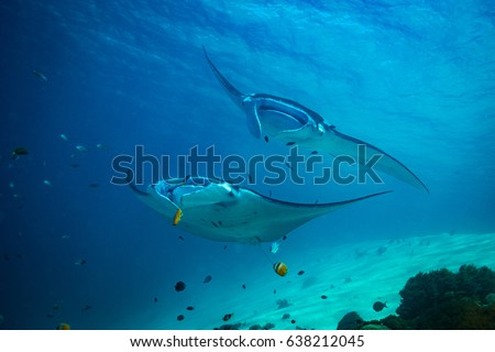 Manta ray on cleaning station in Komodo national park Foto stock ©