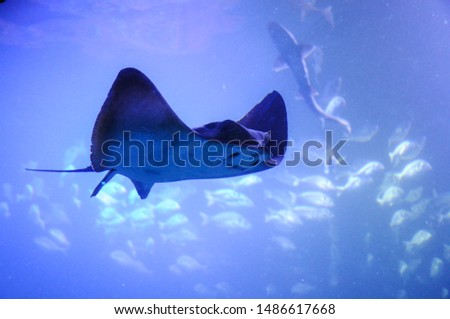 manta ray, sting ray, electric ray is moving in the big tank in aquarium. #1486617668