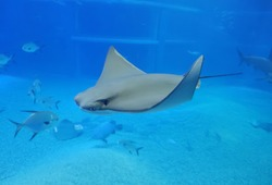 manta ray, sting ray, electric ray is moving in the big tank in kaiyukan aquarium at japan.