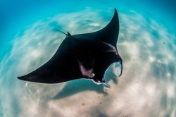 Manta Ray swimming peacefully in the wild along the sea bed