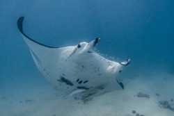 Manta Ray swims above diver on the Ningaloo Reef, Western Australia