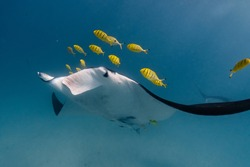 Manta Ray swims closer to diver, Golden Trevally school on face, Blue and Yellow, Ningaloo Reef, Western Australia