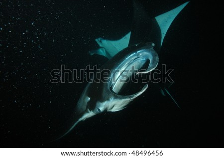 Manta ray with mouth closed