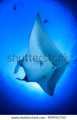 Manta Ray with scuba divers in background #404961763