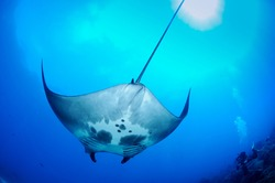 Manta rays eat tiny plankton! Each manta ray has unique markings on its underside, helping researchers in places like Flower Garden Banks National Marine Sanctuary identify each individual.