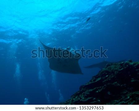 Manta rays in Okinawa, Japan #1353297653